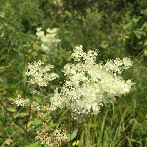 Mädesüss Blüte
